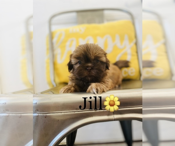 Medium Photo #4 Shih Tzu Puppy For Sale in COOKEVILLE, TN, USA