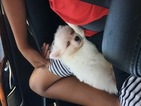 Pomeranian Puppy For Sale in NEWPORT BEACH, California,