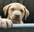 Labrador Retriever-Unknown Mix Puppy For Sale in HUMBLE, TX