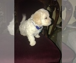 Small Photo #3 Bichon Frise Puppy For Sale in CHICAGO, IL, USA