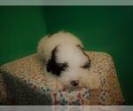 Small #5 Miniature Bernedoodle