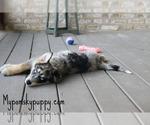 Puppy 4 Pomsky