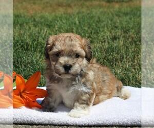 Zuchon Puppy for sale in GAP, PA, USA