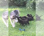 American Pit Bull Terrier-Siberian Husky Mix Puppy For Sale in FLINTSTONE, GA, USA