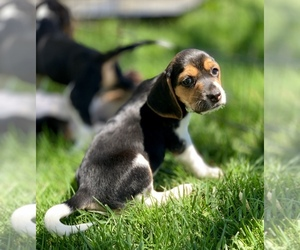 Beagle Puppy for sale in HESPERIA, CA, USA