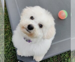 Bichon Frise Puppy for Sale in SPINDALE, North Carolina USA