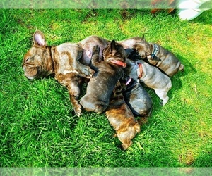 Mother of the French Bulldog puppies born on 03/23/2019