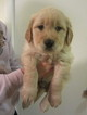 Golden Retriever Puppy For Sale in MIDDLEBURG, VA