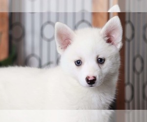 Pomsky Puppy for Sale in NAPLES, Florida USA