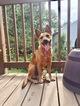 German Shepherd Dog-Labrador Retriever Mix Puppy For Sale in STONE MOUNTAIN, GA, USA