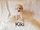 Shiranian Puppy For Sale in LOS ANGELES, CA, USA