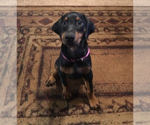 Doberman Pinscher Puppy for sale in MIDWEST CITY, OK, USA
