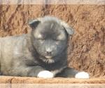 Puppy 1 Wolf Hybrid