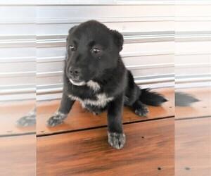 Australian Shepherd Puppy for sale in ADRIAN, MI, USA