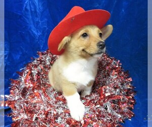 Pembroke Welsh Corgi Puppy for Sale in NORWOOD, Missouri USA