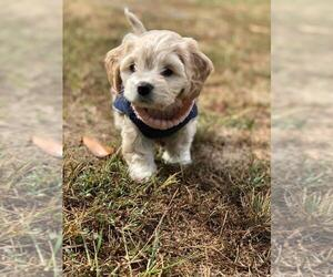 Cock-A-Chon Puppy for Sale in BEDFORD, Virginia USA
