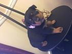 Rottweiler Puppy For Sale in HEPHZIBAH, GA, USA