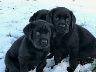 Labrador Retriever Puppy for sale in INDIANA, PA, USA