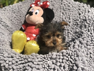Teacup Male Yorkie