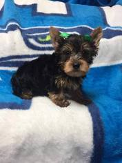 Yorkshire Terrier Puppy For Sale in LYNNWOOD, WA