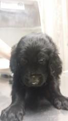 Golden Irish Puppy For Sale in OCEAN SPRINGS, MS