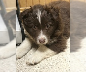 Australian Shepherd Puppy For Sale in FAYETTEVILLE, AR, USA