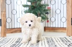 Poodle (Toy) Puppy For Sale in NAPLES, Florida,