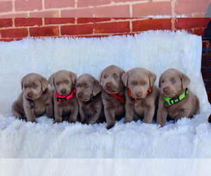 Labrador Retriever Puppy for Sale in TURLOCK, California USA