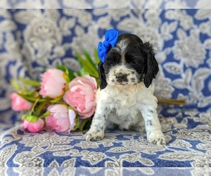 Cocker Spaniel Puppy for sale in KIRKWOOD, PA, USA