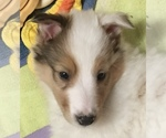 Small #6 Collie