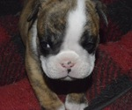 Puppy 2 English Bulldog