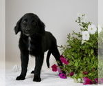 Puppy 5 Australian Retriever