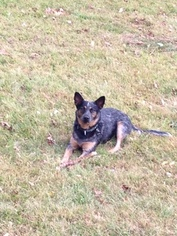 Australian Cattle Dog Dogs for adoption in LOVELAND, OH, USA