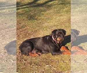 Mother of the Rottweiler puppies born on 11/17/2020
