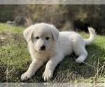 Small #3 German Shepherd Dog-Great Pyrenees Mix