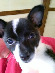 Chihuahua Puppy For Sale in PEACHTREE CITY, GA