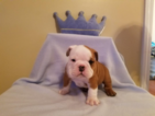 English Bulldogge Puppy For Sale in BYRON, GA, USA