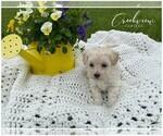 Puppy 1 Maltipoo