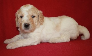 Goldendoodle Puppy for sale in BUCKS BAR, CA, USA