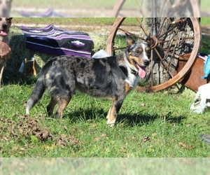 Father of the Texas Heeler puppies born on 08/23/2019