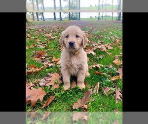 Golden Retriever Puppy for Sale in NICKTOWN, Pennsylvania USA