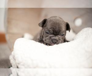 French Bulldog Puppy for sale in STURGIS, MI, USA