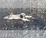 Puppy 5 Mastiff