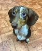 Dachshund Puppy For Sale in SUMTER, South Carolina,