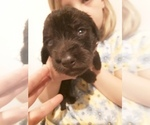 Puppy 9 Goldendoodle-Labrador Retriever Mix