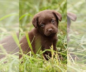 Labrador Retriever Puppy for sale in MECHANICSVILLE, VA, USA