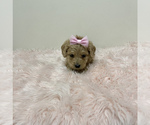 Small #7 Australian Labradoodle