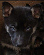 View Ad Labrador Retriever Siberian Husky Mix Puppy For Sale New