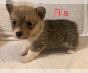 Pembroke Welsh Corgi Puppy for Sale in RAMONA, Oklahoma USA