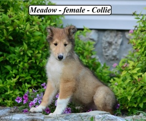 Collie Puppy for sale in HOPKINSVILLE, KY, USA